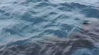 Grosser Hai vor der kroatischen Küste/ Huge shark in Croatia/ Grande tubarao na Croacia