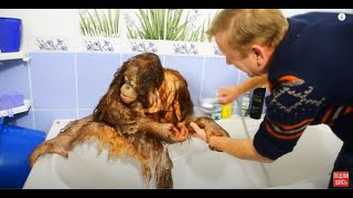 ОБХОХОЧЕШЬСЯ !!! Олег Зубков купает орангутана Дану !   Oleg Zubkov bathes orangutan Dana !