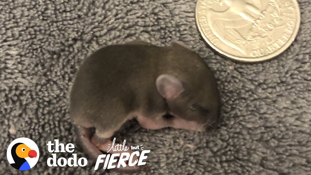 Baby Mouse The Size of a Quarter. The Dodo Little But Fierce