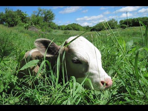 Как кормить 3 месячного теленка