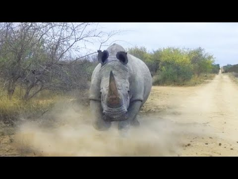 furious-rhino!-these-powerful-creatures-are-able-to-take-on-elephants,-buffalos,-and-even-lions!