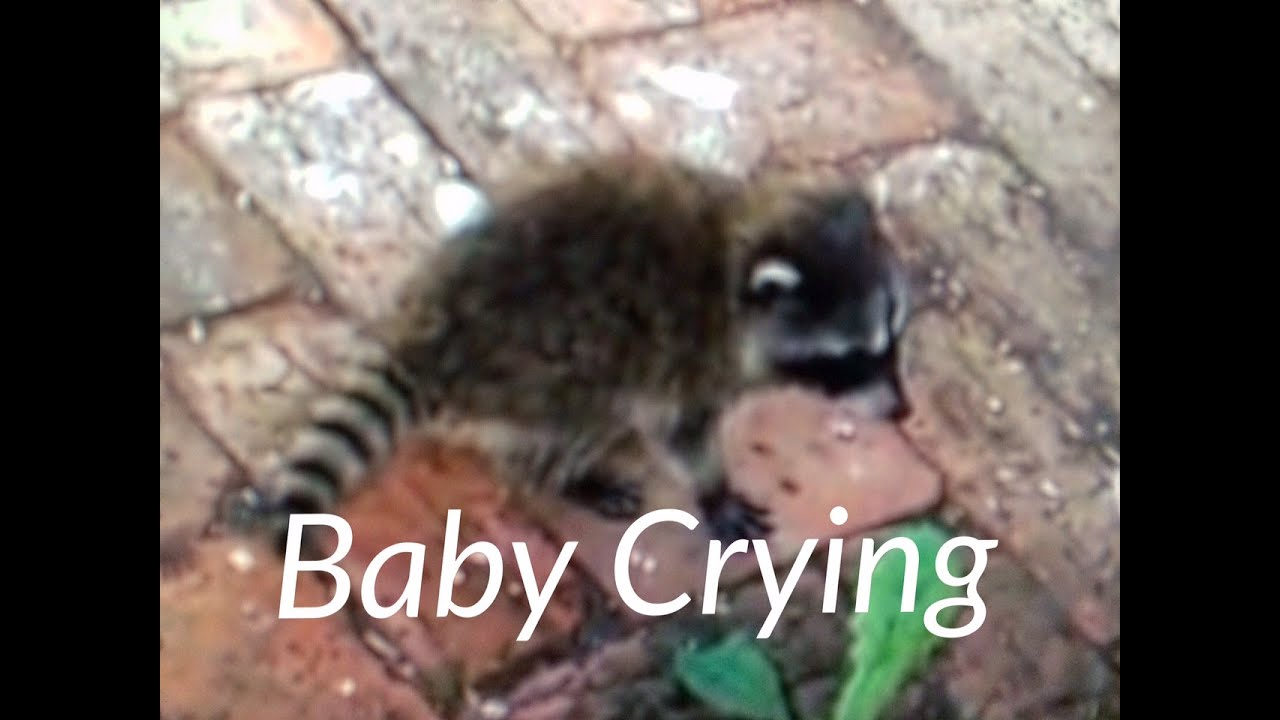 Raccoon Sounds Noises Baby Crying For Momma Victoria Bc