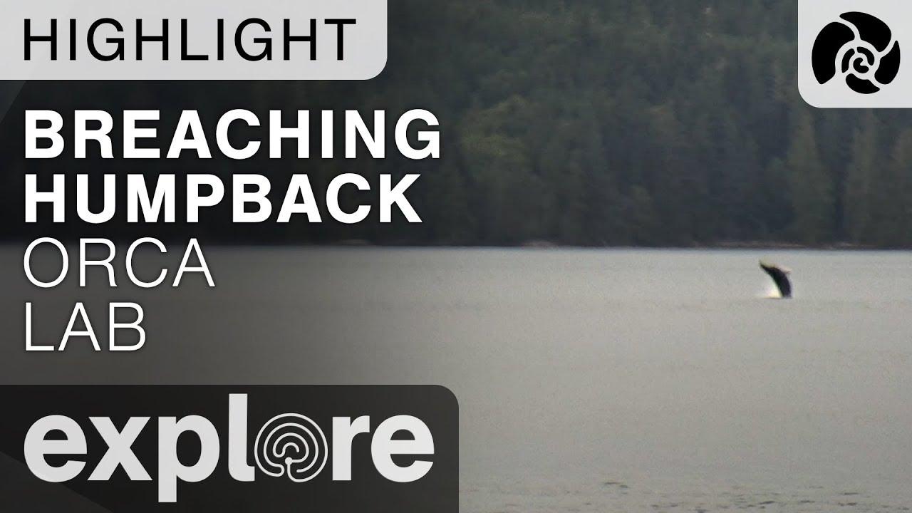 Breaching Humpback - Orca Lab - Live Cam Highlight