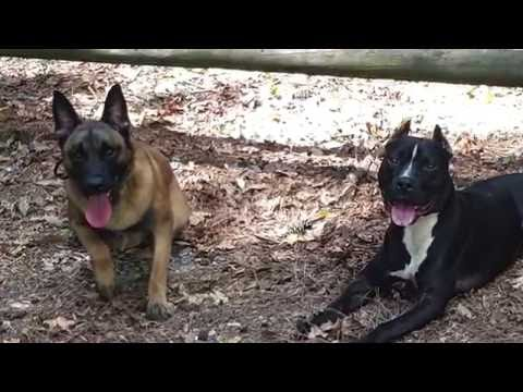 "1.5 Year Old Belgian Malinois ""Ace"" Before/After Video 