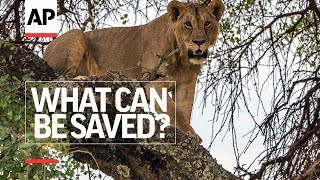 Episode 4 - Living With Lions | What Can Be Saved? | AP