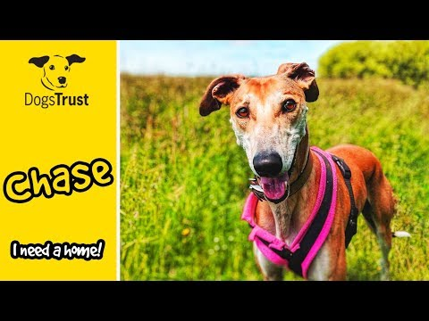 Chase the Lurcher is a Super Smart Boy who Loves Learning Commands!  | Dogs Trust Loughborough