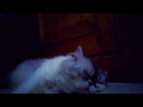 persian-cat-sleeping