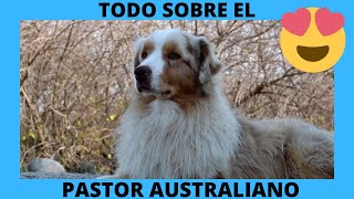 ❤AUSTRALIAN SHEPHERD DOG  Characteristics and Origin❤