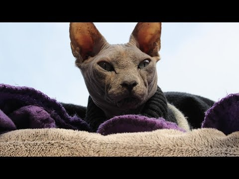 How to Care for Sphynx Cats - Caring For Your Sphynx Cat's Health