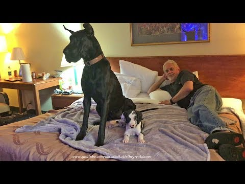 Great Dane and Puppy Relax in Pet Friendly Hotel