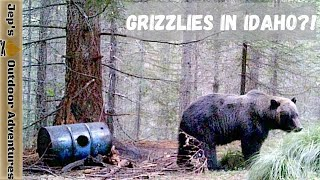 Grizzly Bear In Idaho?! 🐻 Wнat you should do   While Hiking, Camping and if you are a property Owner
