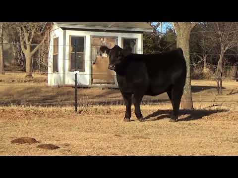 Splitt Creek Mini Herefords Fall Kickoff Sale - GlossyKaynak: YouTube · Süre: 26 saniye