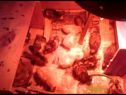 Baby Chicks Under The Heat Lamp