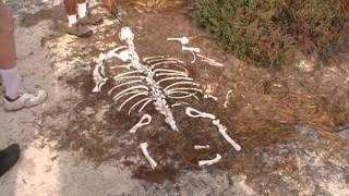 Galapagos Male Sea Lion Bone Remains