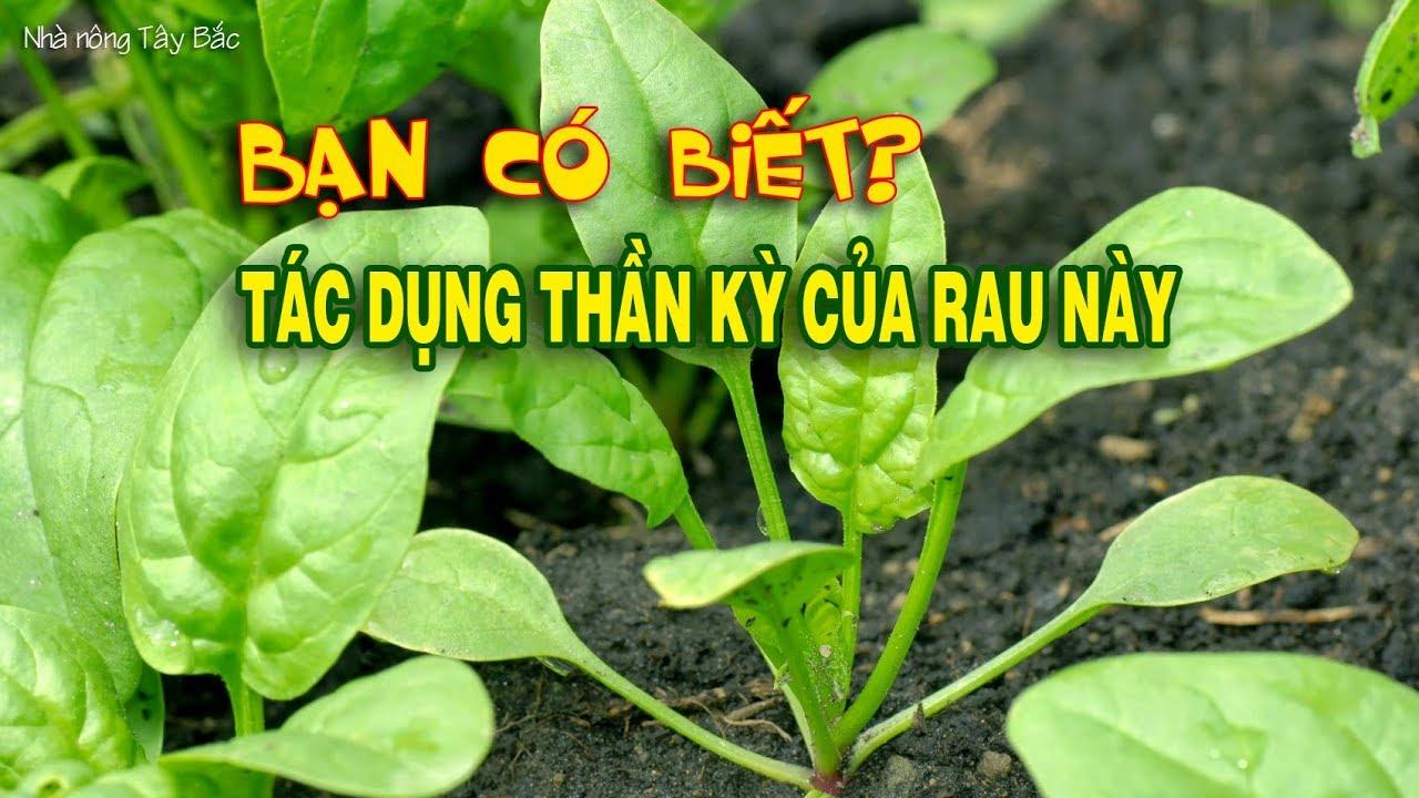 Công dụng tuyệt vời của rau cải bó xôi ít ai biết, rau chân vịt, Bina, Spinacia oleracea