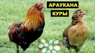Разведение кур породы Араукана как бизнес идея | Куры Араукана с голубыми яйцами