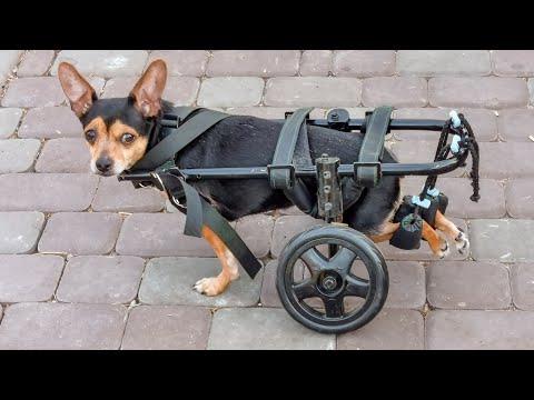 Спасенная собачка инвалид Тося с кладбища нашла друзей и семью радость До слез