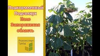 Подсолнух подкормленный гуматом и микроудобрениями  Запорожская обл