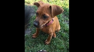 Scarlett- Dachshund/ Terrier Mix With Rover Rescue