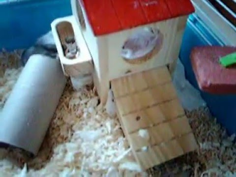 Mon hamster russe croustille doovi - Hamster russe panda ...