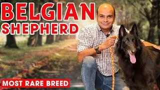 Belgian Shepherd  Rare Puppy Dog Breed in India (Color, Attack, Barking, Training) Baadal Bhandaari