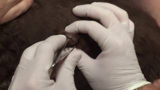 Repeat youtube video Huge 2 inch botfly removal from side of dog.
