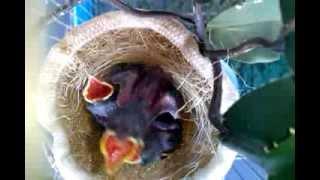 Filhotes de tiziu no ninho.