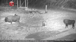Starcie wilków z żubrami