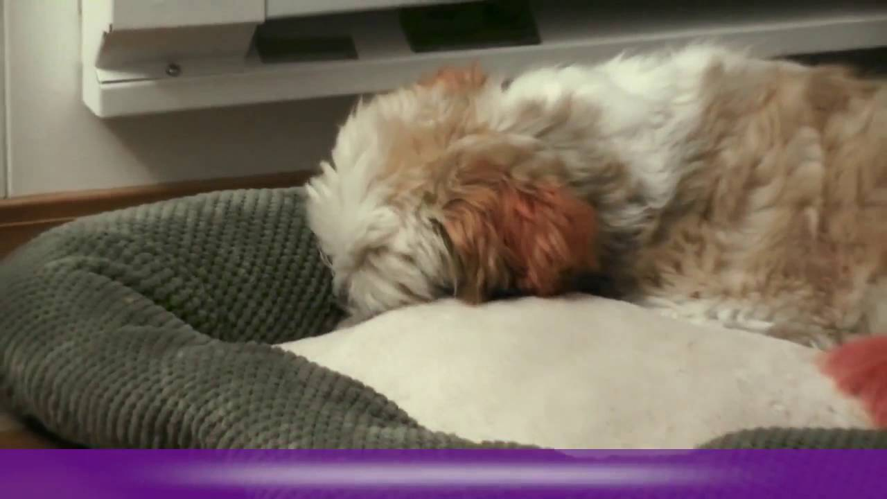 Why Does My Dog Lick it's Bed And Toys - YouTube