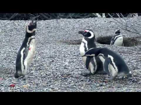 Animal Fight Night Homewrecking Penguin!