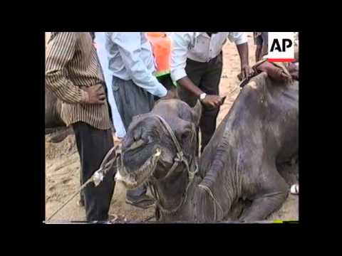 INDIA: BOMBAY: CRUEL TREATMENT OF CITY'S CAMELS