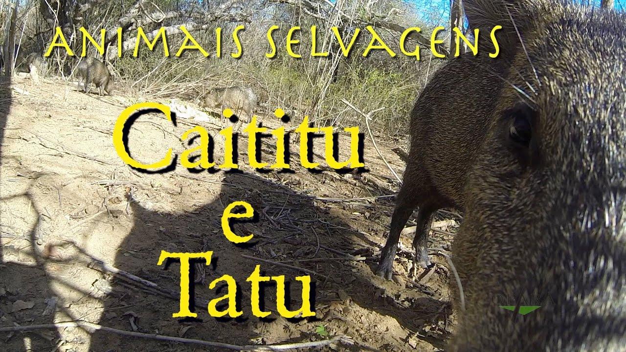 Caititu e Tatus - Animais Silvestres