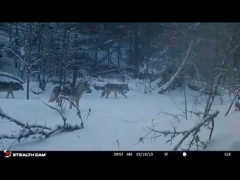 Wisconsin Wolf Pack On Trail Camera
