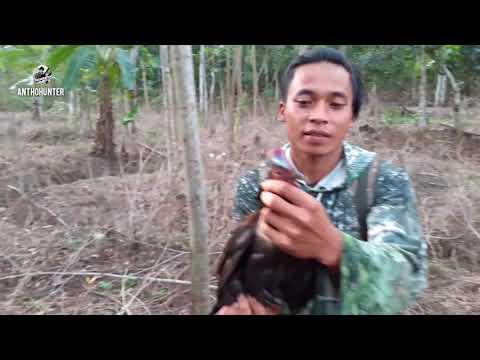 BERBURU AYAM HUTAN‼ Berangkat Pagi U0026 Pulang Malam Hanya Untuk Spot Ayam Hutan