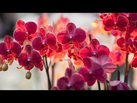 Волшебный Мир ОРХИДЕЙ!!! Удивительные цветы! Потрясающая музыка Сергея Чекалина.