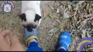 Милый сиамский котик