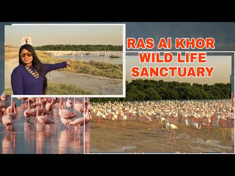 Ras Al Khor wildlife Sanctuary | All information | Flamingo BIRD watch Dubai