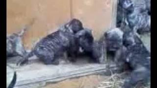 щенки канарского дога (дого канарио) dogo canario puppies
