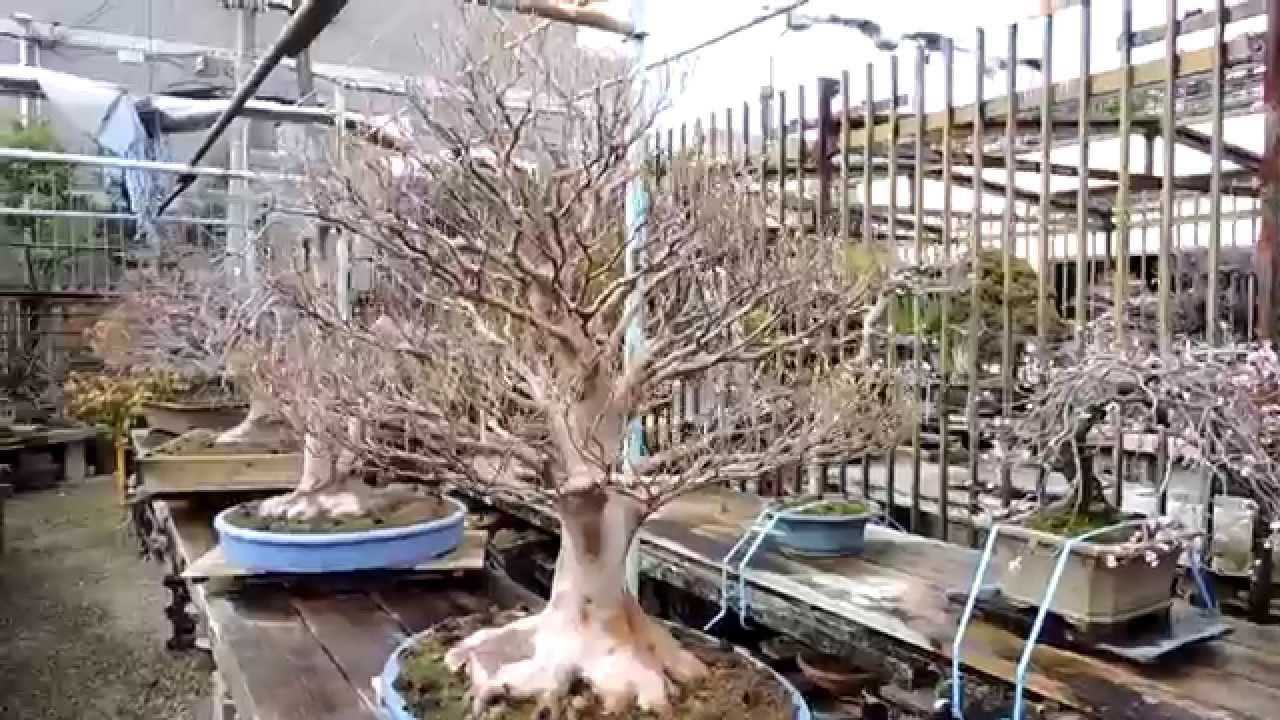 Kouka En Bonsai Nursery Jan2017