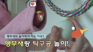 앵무새랑 탁구공 놀이 앵무새와 놀아줘야 하는 이유~
