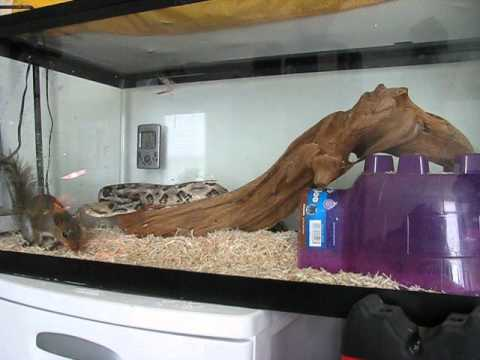 pet snake eats squirrel 001
