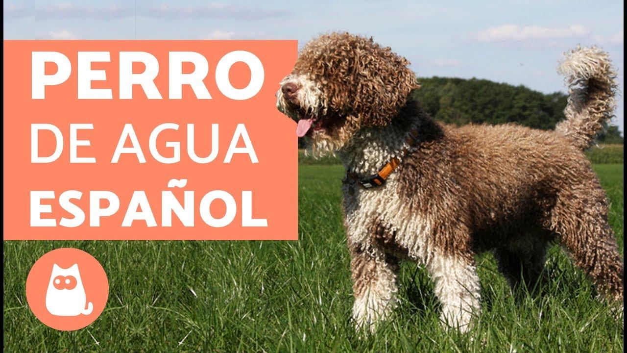 Perro De Aguas Español Características Carácter Y Cuidados Youtube