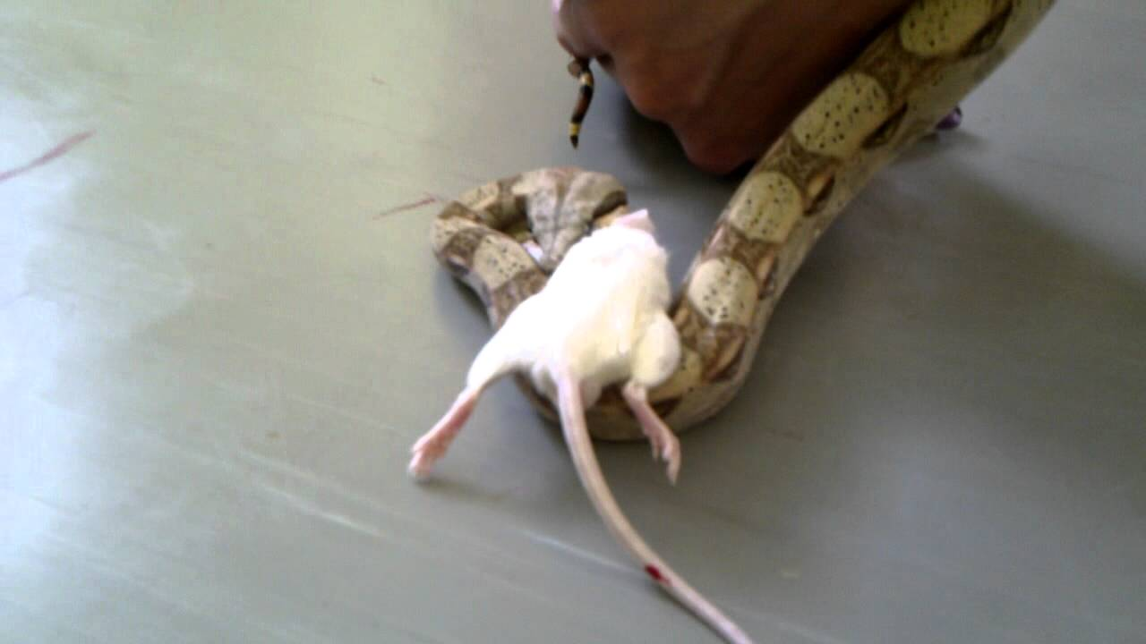 how to kill a mouse at home