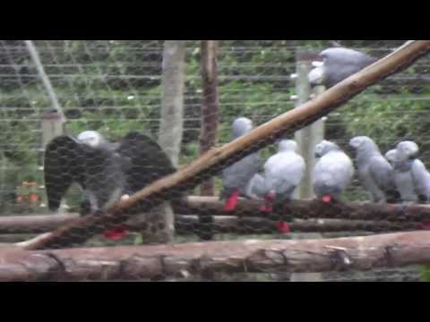 Patience the African Grey Parrot
