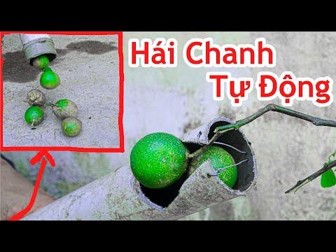Cách Làm Máy Hái Chanh Tự Động Cực Hay / Hướng Dẫn Chế Đồ Hái Chanh Đơn Giản .lemon picking tool