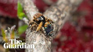 New peacock spider species filmed in Western Australia