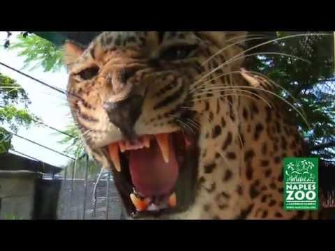 Visit Naples Zoo at Caribbean Gardens