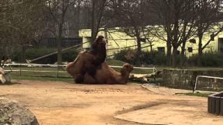 2015 Dresdner Zoo - Paarung von Kamelen - Familienplanung / Sex im Tierreich