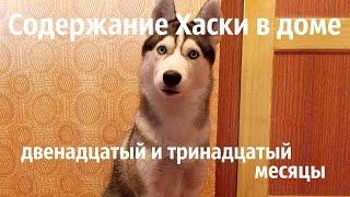Содержание щенка Сибирского Хаски в доме. Двенадцатый и тринадцатый месяцы.