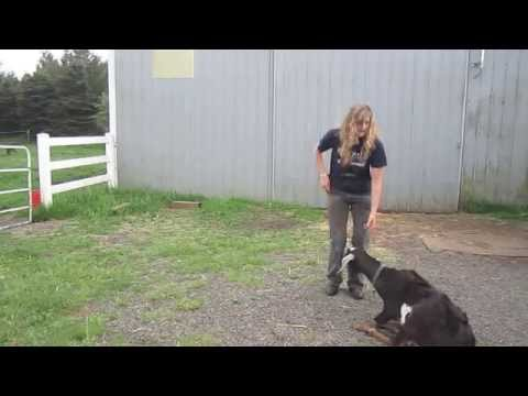 how to train your goat So ring it once or twice yourself in your goat trick training area and treat the goat most of the time if you train your goat back by taking a step forward as you give the command, the goat will be forced gently to back up.